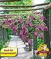BALDUR-Garten Hängende Buddleia Weeping Purple 1 Pflanze Sommerflieder von Baldur-Garten bei Du und dein Garten