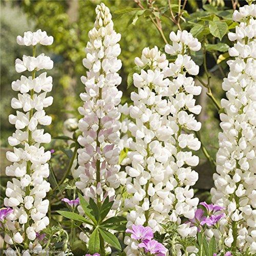 Wongfon mehrjährige Blume Lupine Samen Lupine Samen 30 Pack grüne Landschaft Blume Büro leicht zu Pflanzen Töpfe