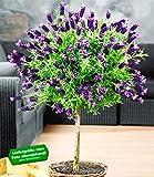 BALDUR-Garten Lavendelstämmchen mit Krone Lavandula für