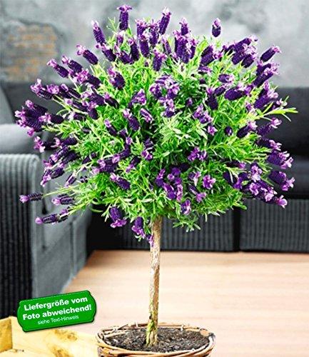 BALDUR-Garten Lavendelstämmchen mit Krone Lavandula für Balkon & Terrasse