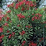 Nerium oleander rouge - 1 arbrisseau