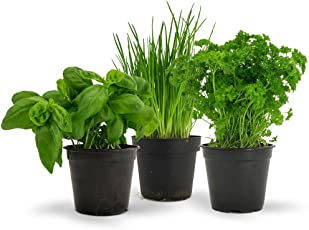 Seedscare Major 3 Herbs Seeds Pack - Easy To Grow - Basil, Chives And Parsley