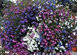 SeeKay Lobelia Cascade mix - Appx 6,000 seeds