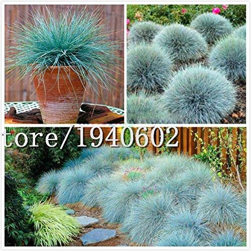 Grosses soldes! Semences de l'herbe 400 Impressionnant PINK PAMPAS GRASS Cortaderia Selloana Seeds décoration de jardin de bricolage!