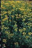 Just Seed Saatgut, Weinraute/ Ruta graveolens, 200Samen