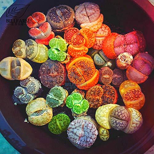 Go Garden Bellfarm Bonsai mixte 10 Types de coloré Pierres Vivantes Vert Orange Lithops Rouge Gris Bonsai Haut Germination de/pack