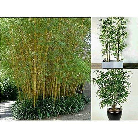Nuovo bambù verde semi di piante in vaso bonsai 100 semi semi di bambù giardino della casa pianta fresca Phyllostachys aureosulcata Spectabilis D85 - Inverno Fioritura Alberi