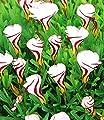 MyRedRose Südafrikanischer Zierklee Oxalis versicolor, 4 Zwiebeln von MyRedRose auf Du und dein Garten