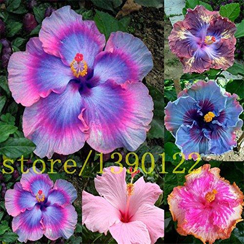 200 Riesen-Hibiskus Samen Speiseteller Hibiscus / Perennial Blume / Huge 10-12 Zoll Blume für zu Hause Garten Bepflanzung Mischfarben