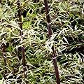 Future Exotics Phyllostachys Nigra Punctata Schwarzer Bambus - Winterhart von Future Exotics - Du und dein Garten