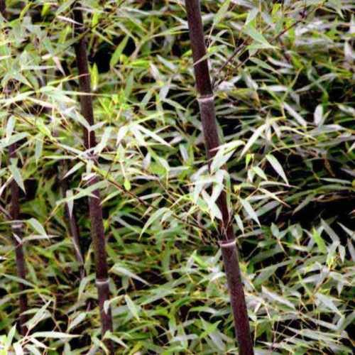 Future Exotics Phyllostachys Nigra Punctata Schwarzer Bambus - Winterhart (Schwarzer Bambus)