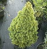 Zuckerhutfichte Rainbows End 20-25cm - Picea glauca