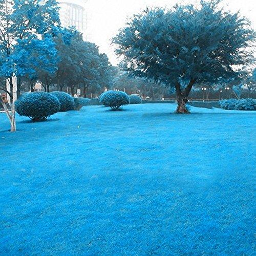 KINGDUO 500 Pcs Blue Grass Seed Rare Gazon Graines Garden Courtyard Décoration Graminée Vivace
