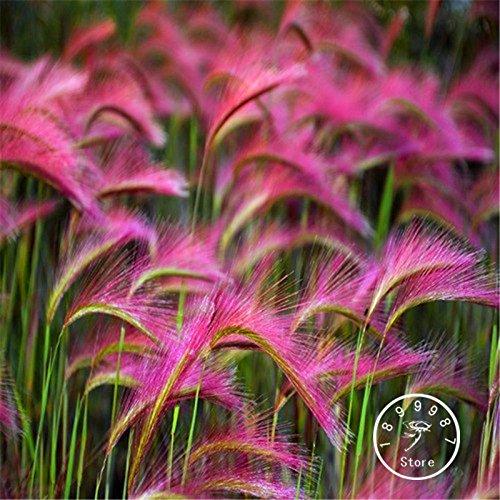 Promozione! 100 parti / pacchetto Setaria Italica Erba ornamentale Seeds (Hordeum jubatum), Giardino Rare semi di fiori
