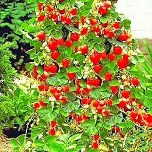 Pinkdose 100 Stück Erdbeerpflanzen Red Giant Erdbeerbaum Pflanzen Stauden Kletterpflanzen Frucht Sementes Für Hausgarten Diy Bonsai G: Dunkelgrau