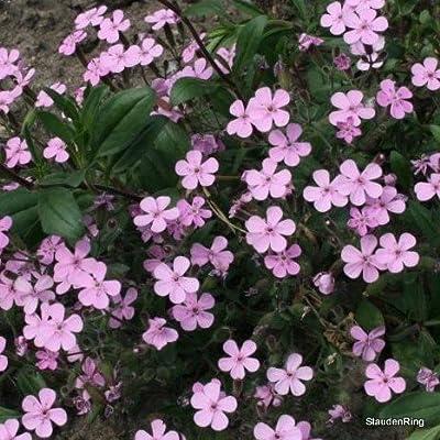Seifenkraut, rosa, Saponaria ocymoides von VDG-Stauden auf Du und dein Garten