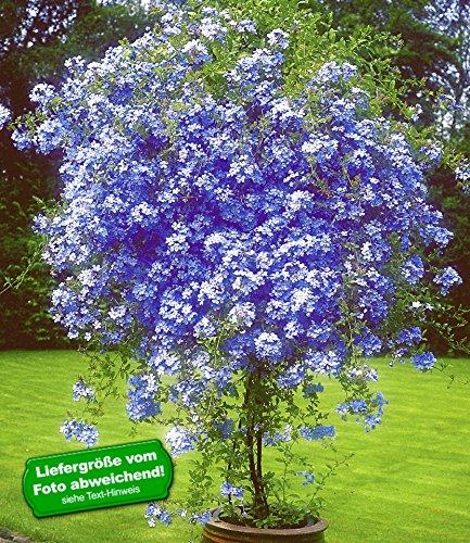 """BALDUR-Garten Zierstrauch """"Plumbago"""",2 Pflanzen Bleiwurz Plumbago auriculata Kübelpflanze für Balkon und Terrasse"""