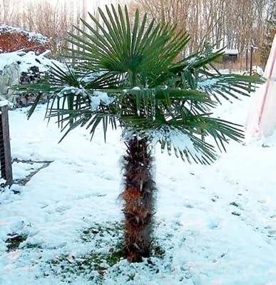 Trachycarpus fortunei ca. 110-120 cm. Frostharte Hanfpalme bis -17 Grad von Peciborsc Pflanzenraritäten - Du und dein Garten
