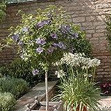 YouGarden Standard Hibiscus Tree Marina, 5 Litre Pot, Blue