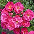 Kordes Rosen Beetrose, Bad Wörishofen, Pink Emely, karminrosa, 12 x 12 x 40 cm, 349-31 von W. Kordes' Söhne bei Du und dein Garten