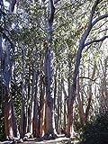 Australische Eiche - **Eucalyptus obliqua