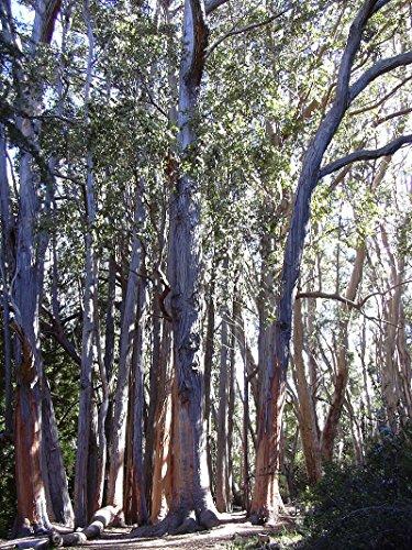 """Australische Eiche - **Eucalyptus obliqua """"Victoria """" ** - Samen- (30)"""
