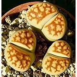 Lithops karasmontana - sinónimo: Mesembryanthemum karasmontana - 15 semillas
