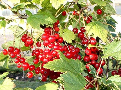 """3 Stück Ribes rubrum """"Rolan"""" * (Rote Johannisbeere Rolan), Obstgehölze, Obststräucher, Beerensträucher, * Topf 3 Liter 40-60 cm"""