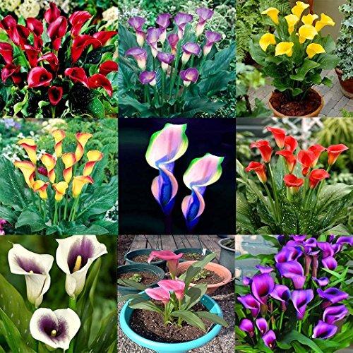 ncient 100 semi sementi di calla lily 17 colori semi di fiori rari piante bonsai per orto giardino balcone interni ed esterni