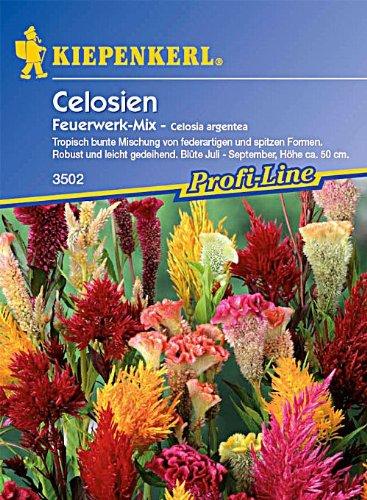 Celosia Feuerwerk Mix
