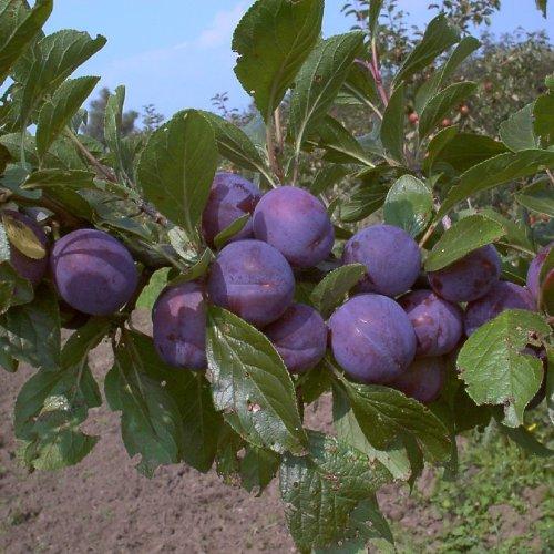 Pflaumenbaum, Wangenheims Frühzwetsche , Prunus domestica, Obstbaum winterhart, Pflaume blau, im Topf, 120 - 150