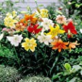 Tigerlilien Mischung von Meingartenshop - Du und dein Garten