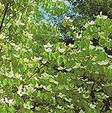 Chinesischer Blumen-Hartriegel - Cornus kousa chinensis - China Girl - blühfreudig - rote Herbstfärbung - 40-60 cm