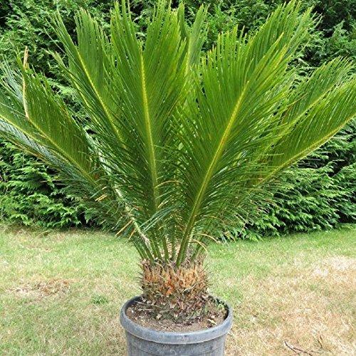 Cycas revoluta Palmfarn Zimmerpalmfarn Büropalme Gartenpalme ca. 70-80cm Gesamthöhe