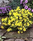 Fünffingerstrauch Elisabeth®Kobold/Goldfinger gelb blühend. 3 Sträucher - zu dem Artikel bekommen Sie gratis ein Paar Handschuhe für die Gartenarbeit dazu