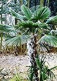 Future Exotics Trachycarpus Fortune...