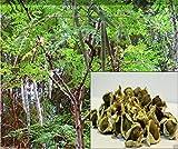 10 semi di Moringa Semi-Bacchetta Albero, Albero della vita o The Miracles oleifera Tree-Moringa