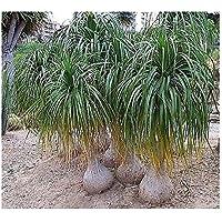Beaucarnea recurvata - Nolina - Beucarnea - Pata de elefante - 10 semillas