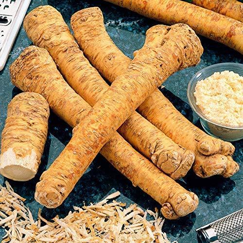 Xianjia Garten - Meerrettich Gemüsesamen winterhart Garten Bio Saatgut,Wurzel mit vielen Vitaminen und Mineralien (50)