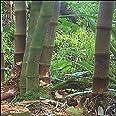Tropica - Bambú gigante (Dendrocalamus giganteus) - 50 Semillas