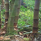 Tropica - bambù gigante (Dendrocalamus giganteus) - 50 semi