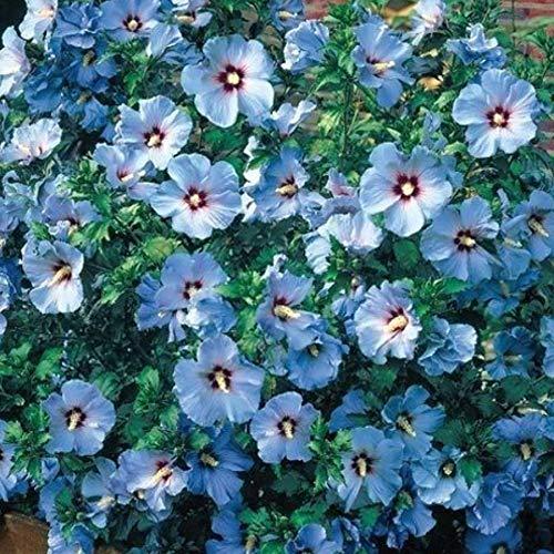 Beautytalk-Garten- 200pcs Zwerg Petunien Mix Samen Petunia Blumen Saatgut,Gefüllte Hänge-Petunien Winterhart Blumensamen mehrjährig für Hausgarten,Balkon,Terrasse