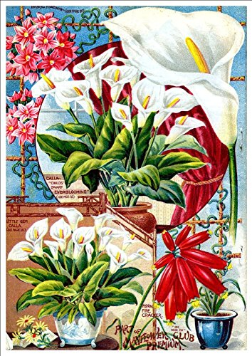john-lewis-childs-everblooming-dwarf-calla-c1890s-a4-glossy-art-print-taken-from-a-beautifully-illus