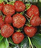 BALDUR-Garten Erdbeeren-Raritäten-Kollektion 'Sengana Selektion &'Natural White', 9 Pflanzen Fragaria Test
