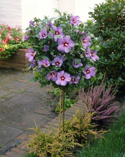 Hibiskus Oiseau bleu® zum Stämmchen gezogen blau blühend. 1 Pflanze - zu dem Artikel bekommen Sie gratis ein Paar Handschuhe für die Gartenarbeit dazu