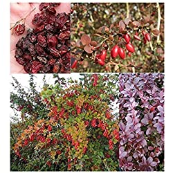 20x Sauerdorn Gewöhnliche Berberitze Berberis vulgaris Samen Strauch #355