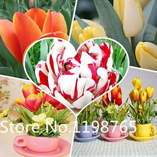 Vendita caldi 100pcs Tulip bulbi, semi Tulip sfera Bonsai Fiore vaso sfera Mix Colors giardino domestico di DIY libera la nave - Sfera Nave