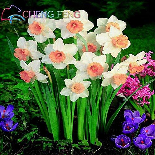 best-seller! 50pcs Bonsai Graines de plantes aquatiques doubles pétales roses Jonquilles semences pour jardin 2016