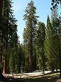 Asklepios-seeds® - 100 Semi di Sequoiadendron giganteum, La sequoia gigante, chiamata anche wellingtonia