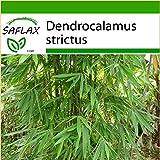 SAFLAX - Gräser-Bambus-Kalkuttabambus - 50 Samen - Mit Substrat - Dendrocalamus strictus